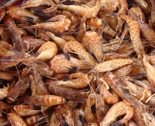 North sea shrimp
